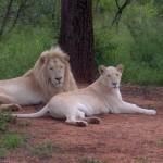 white-lions-1
